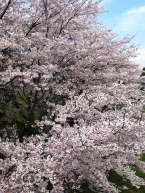 4月「卯月」はどんな月か?桜を愛でる春4月の行事、イベント、暦を知ろう!